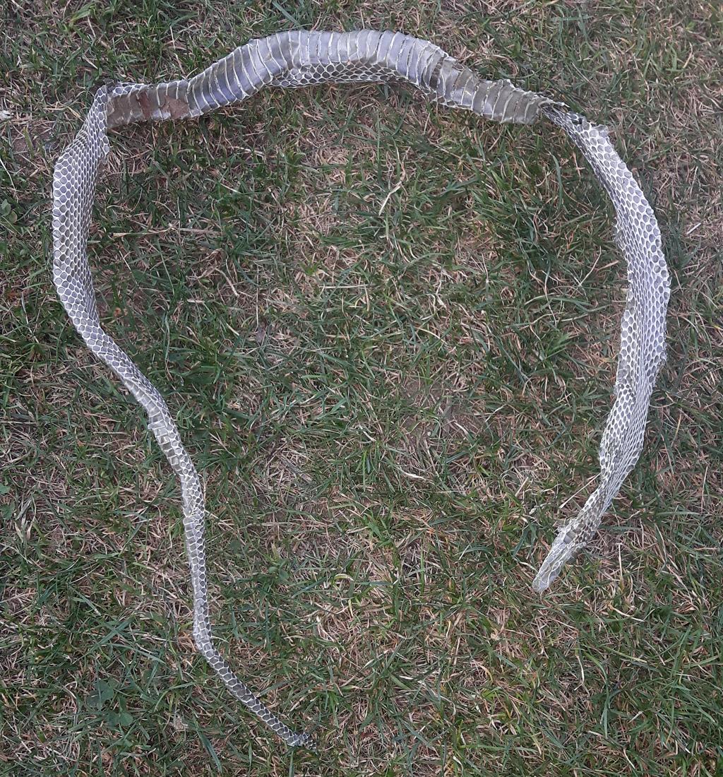 Schlangenhaut Einer Ringelnatter. Foto: Dexheimer/Stadt Langen